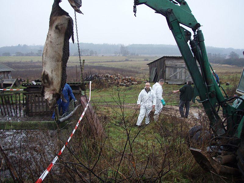 Āfrikas cūku mēra seku likvidēšana vienā no sērgas skartajām fermām Latvijā 2014.gadā.