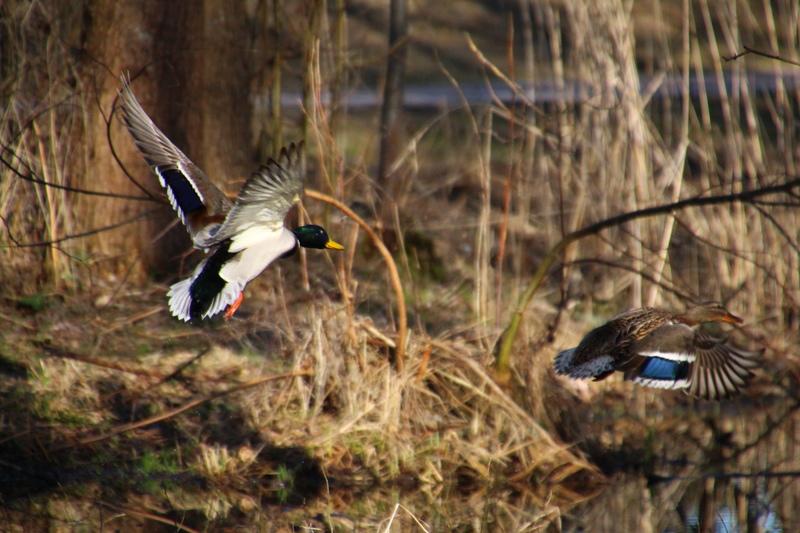 Rudenī putnu medības Latvijā nav necik populāras, ja vien neskaita ūdensputnu medības, bet tā ir tāda vietējā īpatnība, kas, cerams, ar laiku mainīsies.