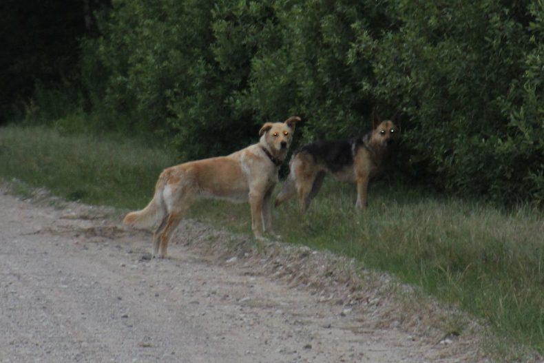 Ir suņu bari, pat bandas, kas lasās kopā un plēš gan meža dzīvniekus, gan mājlopus. Ir daudz precedentu ārzemēs, kad šādi suņu bari uzbrūk arī cilvēkiem.