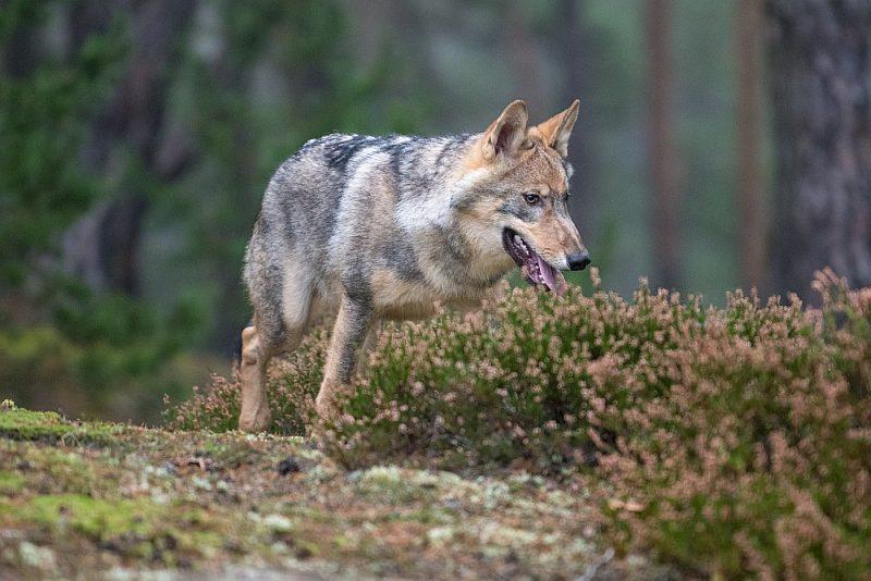 Saskaņā ar zinātnieku novērtējumu, Eiropā ir ap 17 000 vilku.