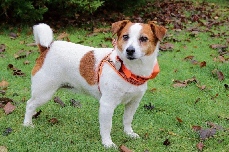 Suņu izsekošanas sistēma neļaus sunim mežā pazust. Pat šāds mazs suns var pamanīties nomaldīties.