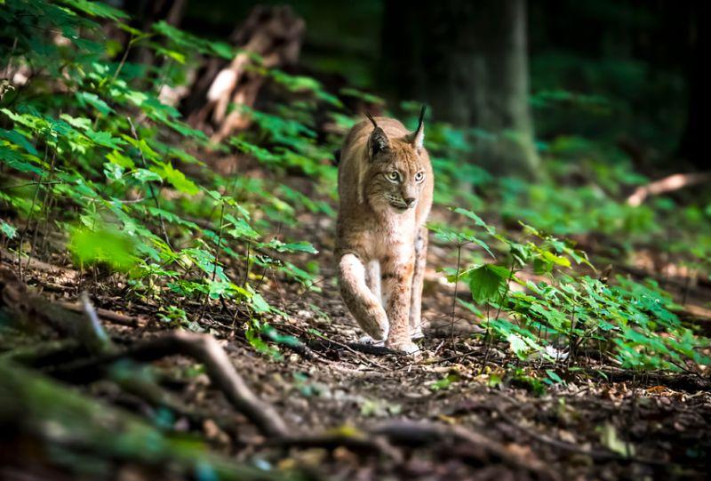 Viedoklis, ka medības Latvijā negatīvi ietekmētu Igaunijas un Lietuvas lūšus, nav balstīts zinātniskos faktos.