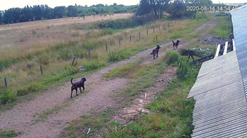 Speciāli uzstādītā medību kamera piefiksējusi suņus, ierodamies ferma