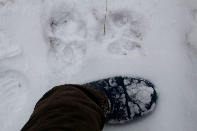 Mednieki fotografē un sūta VMD vilku pēdas un ļoti tic, ka beidzot pienāks brīdis un lemjošie sapratīs, cik pārmērīgi daudz ir šo plēsēju.