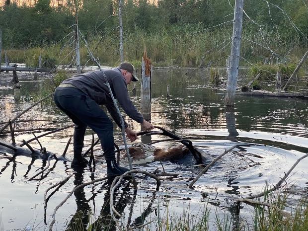 Ūdenī daļēji iegrimis un iesprūdis zem nogāzušās egles gulēja briežu bullis.
