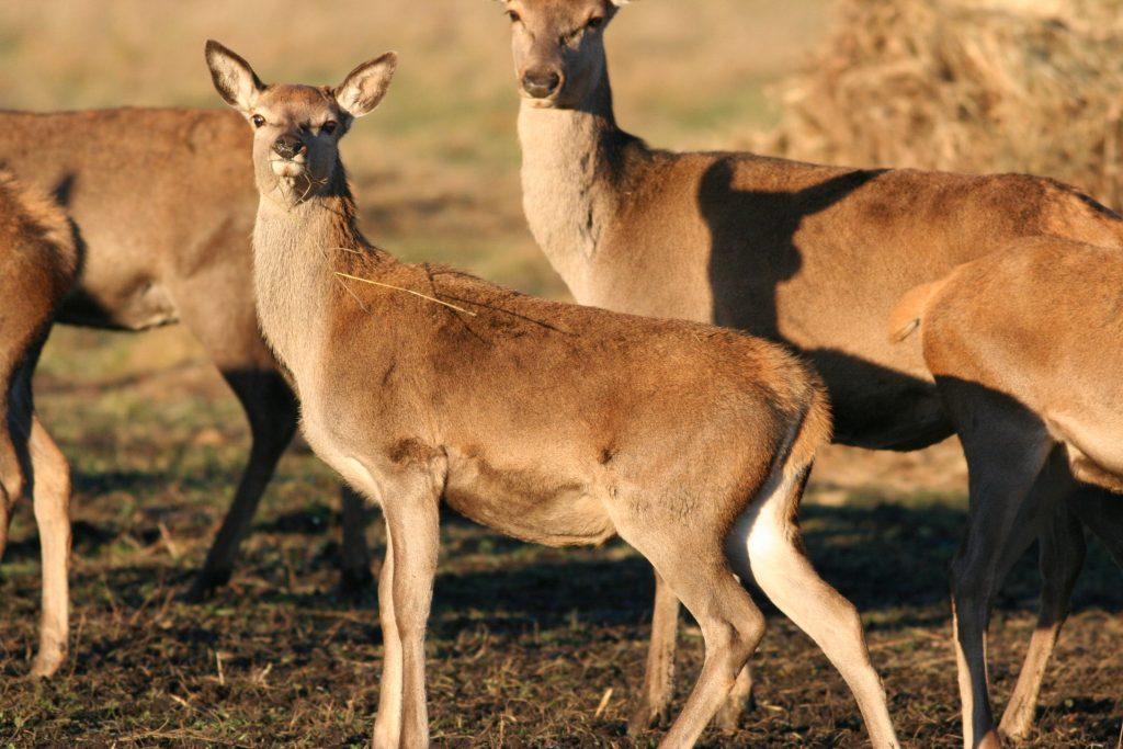 Izmantojot staltbriežu buļļa vai govs medību atļauju, neatkarīgi no dzimuma atļauts nomedīt atbilstošas sugas dzīvnieku, kas nav vecāks par gadu.