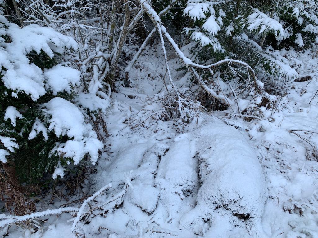 Attēlā redzamas Latvijā atrastas mežacūkas. Analīzes apstiprināja, ka tās nobeigušās no ĀCM. Ģibuļu pagastā 11.01.2021.