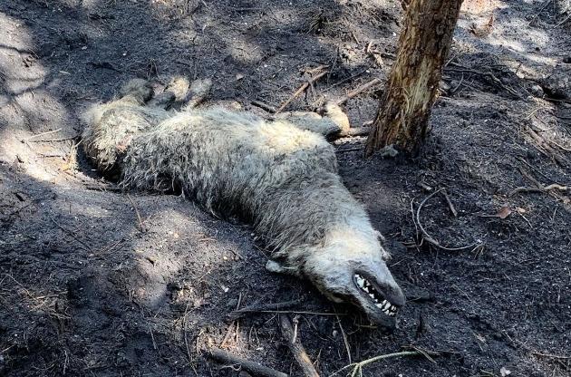 Cilpa savilkusies ap dzīvnieka vidukli, izraisot ilgu un mokošu nāvi.