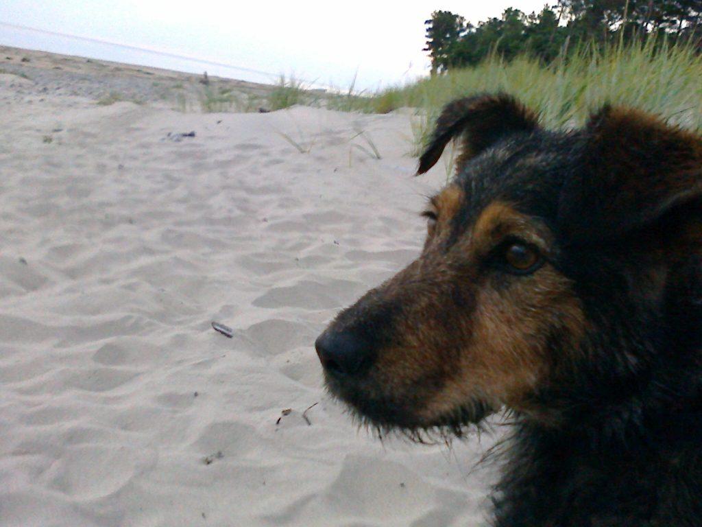 Vilka apēstais Linas Semjonovas ģimenes mīlulis. Suns pazuda pastaigas laikā 8.maijā, nākamā dienā pāri bija palikusi tikai galva un priekšķepas.