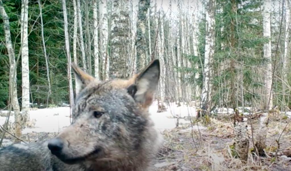 Arvien biežāk vilki tiek fiksēti meža kamerās.