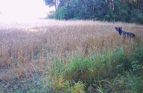 Lācis nobildēts Ludzas pusē Zvirgzdenes pagastā.