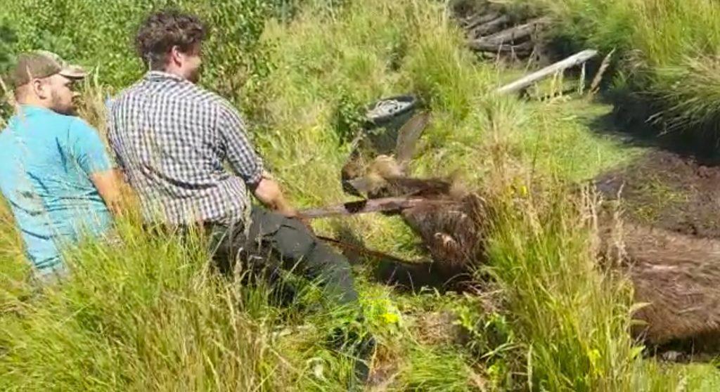 Pēc tam kad dzīvnieks tika veiksmīgi izvilkts grāvmalē, to apsedza ar netālu sacirstām meijām, lai izveidotu kaut nelielu ēnu.