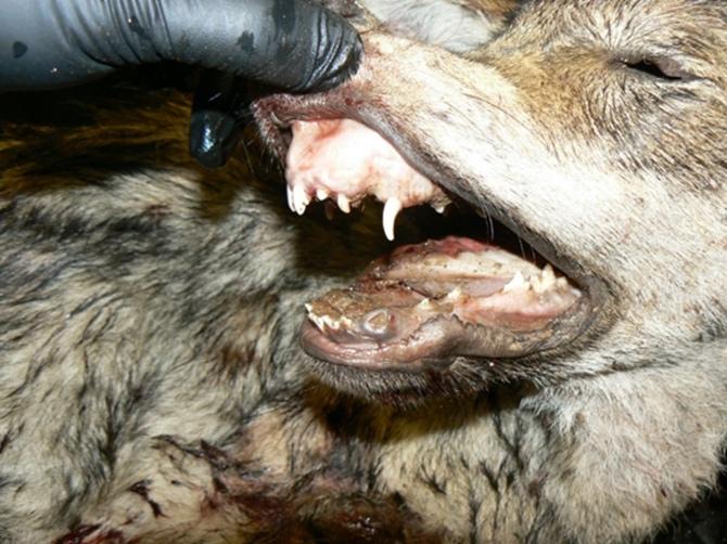 Pavasarī dzimušajiem vilcēniem no medību sākuma 15. jūlijā līdz pat oktobra beigām ir viegli atpazīstami piena zobi.